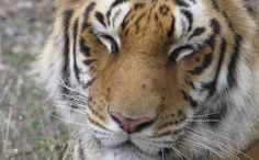 Orphaned Tiger Given Goat to Eat, Befriends it Instead