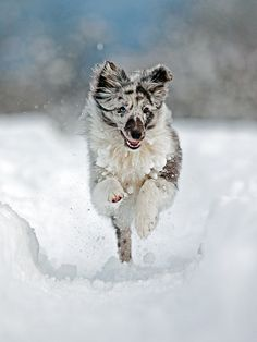 Blue Merle Sheltie in Snow Dog Shetland Sheepdog Blue Merle Sheltie, Dog Dna Test, Shetland Sheepdog Puppies, Herding Dogs, Snow Dogs, Medium Dogs, Best Dogs, Dog Breeds, Cute Dogs