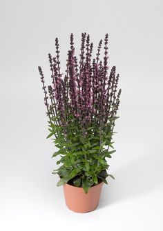 Salvia Bordeau Rose by Syngeta Flowers - Year of the Salvia - National Garden Bureau
