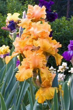Bearded Iris Garden.  One of my most favorite flowers