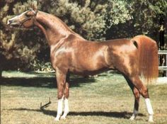 ELYSIUM  (*Erros x *Bibusja, by *Bibars) 1980 chestnut stallion bred by Kenneth & Peggy Johnson   1983 US Nat TT 3 yr Fut Colt