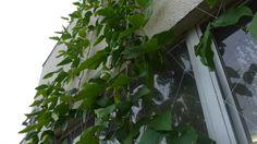 Sword Bean's Green wall / なたまめのグリーンカーテン