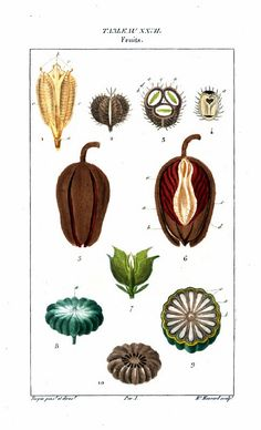 Painting of fruit. From Flore médicale, by F.P. Chaumeton, Chamberet et Poiret, illustrated by E.M., illlustrated by E. Panckoucke and P.J.F. Turpin, published by C.L.F. Panckoucke (Paris), 1820 (on Google Books, original from Lyon Public Library)