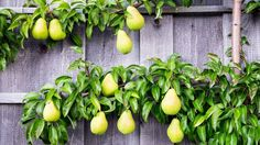 Want to grow fruit in a small space, but with a bit of wow-factor? You can't go past an espalier - here's how to make your own.