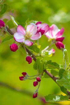 Apple Blossom, by Aimee Stewart. Amazing Flowers, My Flower, Beautiful Flowers, Flowers Nature, Spring Blossom, Flowering Trees, Flower Pictures, Dream Garden, Spring Flowers