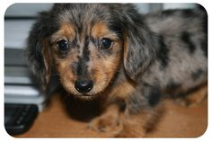 Mini Long Haired Dapple Dachshund Puppies | All Puppies Pictures ...