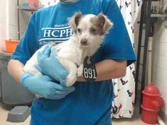 06/02/16--HOUSTON- -EXTREMELY HIGH KILL FACILITY - This DOG - ID#A460515 I am a spayed female, white and brown Chihuahua - Long Haired. My age is unknown. I have been at the shelter since Jun 02, 2016. This information was refreshed 45 minutes ago and may not represent all of the animals at the Harris County Public Health and Environmental Services.