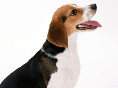 artois hound photo | Artois Hound Dog Picture