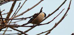 Dompap hunn, Pyrrhula pyrrhula,Bullfinch female