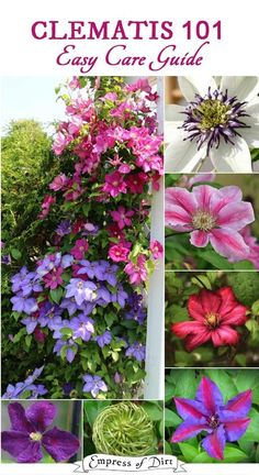 101 Easy Care Guide Clematis is a beauty of the garden. Use this easy care guide to learn more about your plant and determine if and when it might need pruning.Clematis is a beauty of the garden. Use this easy care guide to learn more about your plant and Clematis Care, Clematis Trellis, Clematis Plants, Clematis Flower, Pruning Plants, Clematis Varieties, Tomato Pruning, Flower Vines, Perennials