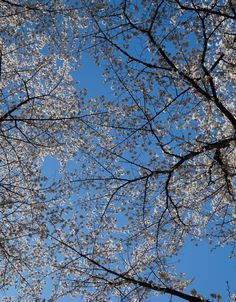 #cheeryblossoms #bluesky