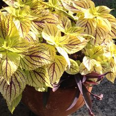 Coleus 'Gay's Delight' Brain Drawing, Foliage Plants, Blossom Flower, Balcony Garden, Shade Garden, Container Gardening, Shrubs, House Plants, Perennials