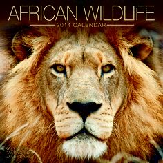 African Wildlife 2014 Calendar Each large format calendar features 16 months from September 2013 to December 2014 13 full color wonderful contemporary studio photographs with plenty of room to write those special dates birthday and anniversaries.  www.megacalendars.com/african-wildlife-calendar-by-avonside-publishing.html September 2013, Large Format, Dates, Calendar, Photographs, Wildlife, African, Contemporary, Studio