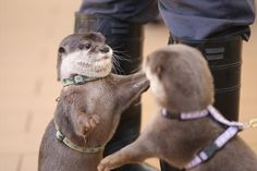 Otter is just about to give his friend a hug. Funny Animal Videos, Cute Funny Animals, Cute Baby Animals, Wild Animals, Otters Cute, Baby Otters, Otter Love, Lovely Creatures, Sea Otter