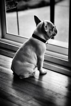 French Bulldog / Bouledogue Français #cute #french #dog #frenchbulldog #frenchie #puppy