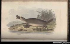 George Perry was an eminent architect and amateur naturalist. His book, Arcana published in London in 1811, depicts creatures from all over the world, including a number of early depictions of Australian animals such as this, rather cartoonish, platypus. The illustrations were based on specimens displayed in William Bullock's London Museum, rather than from life.