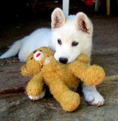 This little puppy reminds me of my first dog, Jake. It's a rare white German Shepard. These dogs are inbred so much that they tend to have the most medical problems. But they are so cute and are such good family dogs. My dog, Jake, helped me learn to walk.