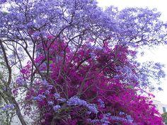 purple Jacaranda trees,  Sydney, AU