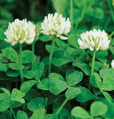 New Zealand White Clover- perennial, grows to 1', $36/5lbs., innoculate, heat tolerant.
