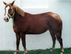Breed: Pindos Pony
