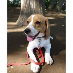 Days hotter than usual continue this year too🌞💦🎱 あちぃんよ?姉ちゃはけふ学校サボったんよᏊ°͈ꈊ°͈Ꮚ🐾🐾🎱 #beagle_hachi #beagle #beaglehug #justbeagles #beaglestagram #beagleloveit  #beaglemasters #ビーグル犬 #bestfriends_dogs  #愛犬 #snoopy #今日のわんこ #チビーグル #beagleclub #bf_together #ビーグル#beagleworld_feature #peco犬部 #beagleworld #hachismilebatongame #grumpybeaglesunited #grumpster