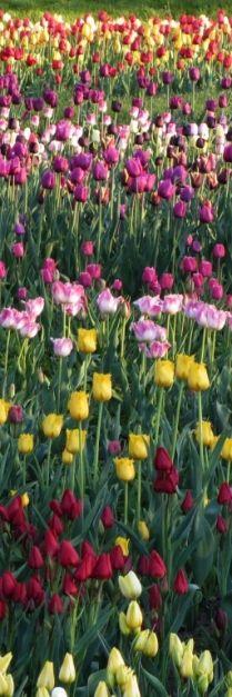 tulipanes hermosos