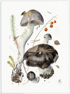 http://www.pelcor.com/mushrooms/PagesOriginals/Tricholoma portentosum Or.html