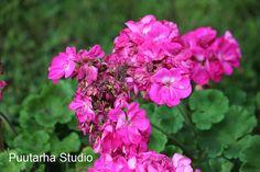 Pelargonit kukkii yhä... ja pelargonien talvisäilytys | Asuntomessut