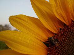 Bee on sunflower at sunrise.