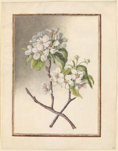 Circle of Madeleine Françoise Basseporte 1701-1780 Pear (Pyrus communis) Watercolor over pencil on vellum.