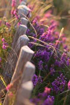 All purple flowers are beautiful and with meanings of their own. Beautiful purple flowers for your garden Bloom, Country Fences, Rustic Fence, Rustic Wood, Down On The Farm, Lavender Fields, Plantation, Belle Photo, Country Living