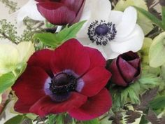 Two delicious anemones, grown by Vivian Larson of Everyday Flowers