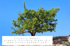 It takes at least five years for the argan tree to bear fruit. However, sometimes these amazing trees can live up to 150 years! #victoriaakkari #arganoil #argantree #nature #morocco