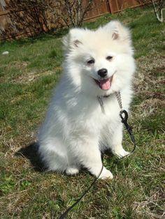 American Eskimo Pomeranian Mix