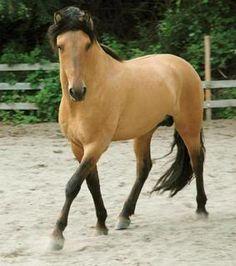 Spirit, an Australian golden Thoroughbred stallion..stunning.