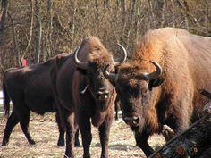 Národný park Poloniny a Medzinárodná biosférická rezervácia Východné Karpaty. - Zubor hrivnaty Heritage Site, Flora, Park, City, Animals, Image, Animales, Animaux, Plants