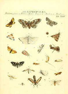 039-ateuchus, gymnopleurus, sisyphus, coprobius, oniticellus, onthophagus      ...