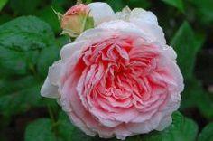 Eglantyne rose | Actualité Fête des mères Rose Eglantyne Roses Cottage Garden Plants, Flowers, Gardens, Royal Icing Flowers, Flower, Florals, Floral, Blossoms