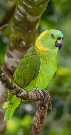Yellow-naped Parrot page Exotic Birds, Colorful Birds, Animals And Pets, Funny Animals, Painted Bunting, Amazon Parrot, Bird Gif, Cardinal Birds, Cute Birds