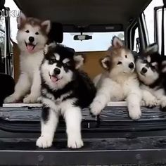 Funny pictures about It's A Malamute Thing. Oh, and cool pics about It's A Malamute Thing. Also, It's A Malamute Thing photos. Animals And Pets, Baby Animals, Funny Animals, Cute Animals, Cute Puppies, Cute Dogs, Dogs And Puppies, Doggies, Huskies Puppies