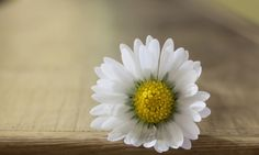 Close Up White Daisy Flower Background Wallpaper Wallpapers - New HD Wallpapers Twitter Backgrounds, Backgrounds Free, Flower Backgrounds, Daisy Flower Pictures, Flower Images, Love Wallpaper Download, Hd Wallpaper, Twitter Header Image, Flower Background Wallpaper