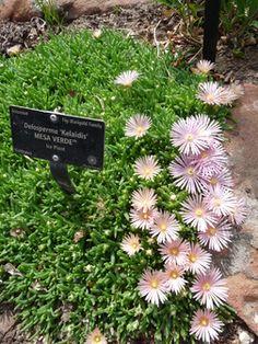 Delosperma 'Kelaidis' [sold as MESA VERDE (R)] - succulent for upper part of yard