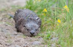 Otters - GhostBearPhotography.com #yellowstone #nationalparks #wildlife #nature #outdoors #photography #animals