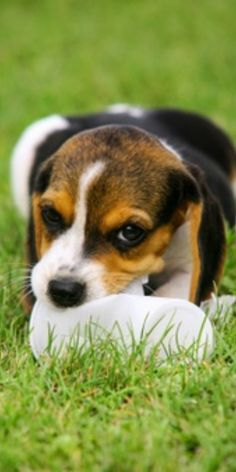 Adding any pooch to your family is definitely a reason for discussion. Generally speaking, Beagles do make incredible family pooches and they are extraordinary with huge gatherings of individuals.#beaglepuppies #cutebeagles #cutebeaglepuppies #funnybeagles #beaglepuppiescutest #dogsandpuppies #cutedogs #dogsandpuppies #cutedogs Cute Beagles, Cute Dogs, Beagle Puppy, Corgi, Dogs And Puppies, The Incredibles, Funny, Animals, Corgis