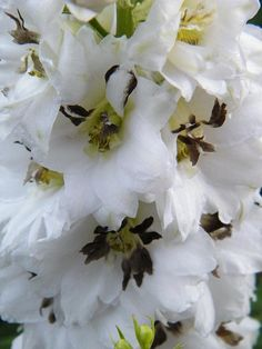 Macro photography of flowers captures the beauty of blooms up close, in a way we seldom take the time to appreciate. The flowing design and structure of a hardy delphinium flower is an artistic creation by Mother Nature that we can enjoy in the moment. White Flower Photos, White Flowers, Floral Photography, Macro Photography, Delphinium Flowers, Mother Nature, Perennials, Photo Art, Fine Art Prints
