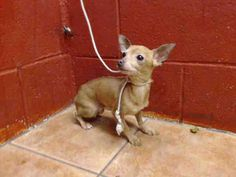 PLEDGES AND RESCUE NEEDED! SHE WEIGHS 2.7 LBS AND CAME IN WITH A 1 YEAR OLD MALE WHO WEIGHS 2.1 LB. I don't have a name yet and I'm an approximately 1 year old female chihuahua sh. I am not yet spayed. I have been at the Downey Animal Care Center since April 6, 2015. I will be available on April 10, 2015 https://www.facebook.com/photo.php?fbid=848425058571161&set=pb.100002110236304.-2207520000.1428518406.&type=3&theater