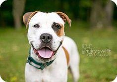Reisterstown, MD - Bulldog/Terrier (Unknown Type, Medium) Mix. Meet Governor, a dog for adoption. http://www.adoptapet.com/pet/12407881-reisterstown-maryland-bulldog-mix