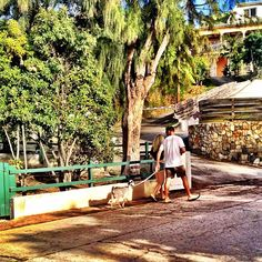 Couple walking their pet goat on a leash in St Barths