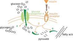 Metabolismo lento vs metabolismo veloce: le verità!