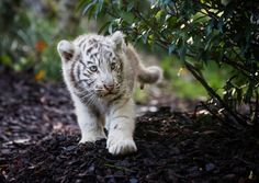 White tiger cub. Little explorer!